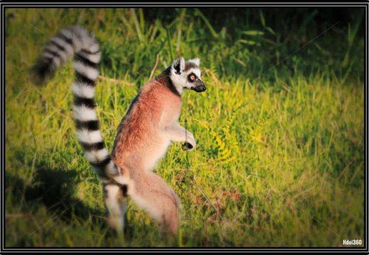 Lémurien Lemur Catta avec queue rayée