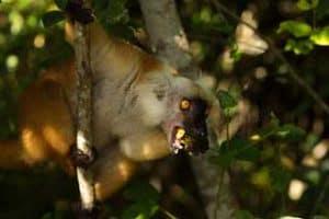 Le Lémur Noir ou Macaco de Nosy Be