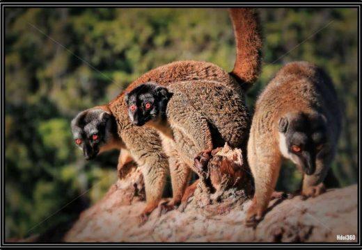Photo de 3 lemuriens