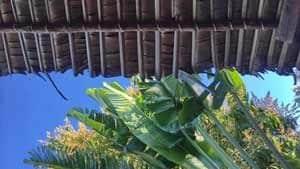toit malgache en arbre du voyageur